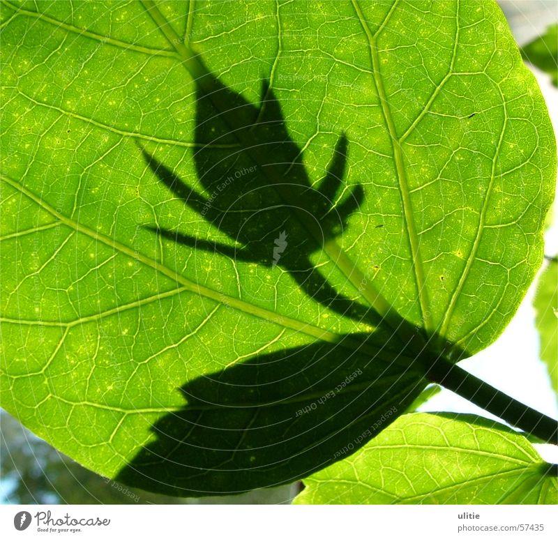Schattenwesen Blatt Licht Gegenlicht grün Blume Blüte Pflanze Lichtspiel Zacken