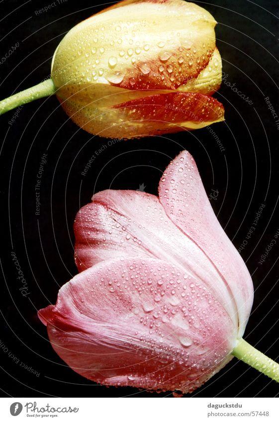 Gespräche unter Tulpen Natur Wasser grün Pflanze Sommer Blume schwarz gelb Farbe Garten Frühling orange 2 rosa Wassertropfen ästhetisch