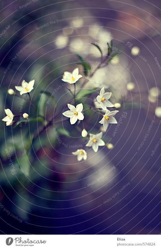 Bloomkeh Natur Pflanze schön weiß Blume Frühling Blüte ästhetisch Blühend violett