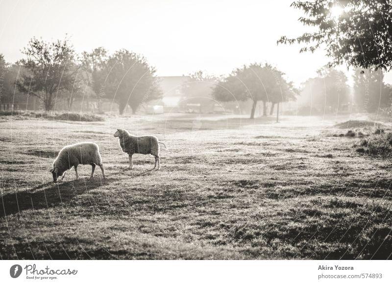[300] Pure Morning Himmel Natur Baum Erholung Landschaft Tier Haus Wiese Herbst Gras natürlich hell Zusammensein träumen leuchten Nebel