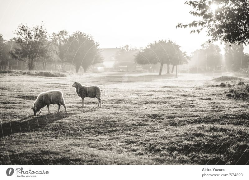 [300] Pure Morning Natur Landschaft Himmel Wolkenloser Himmel Sonnenaufgang Sonnenuntergang Herbst Schönes Wetter Nebel Baum Gras Wiese Dorf Stadtrand Haus