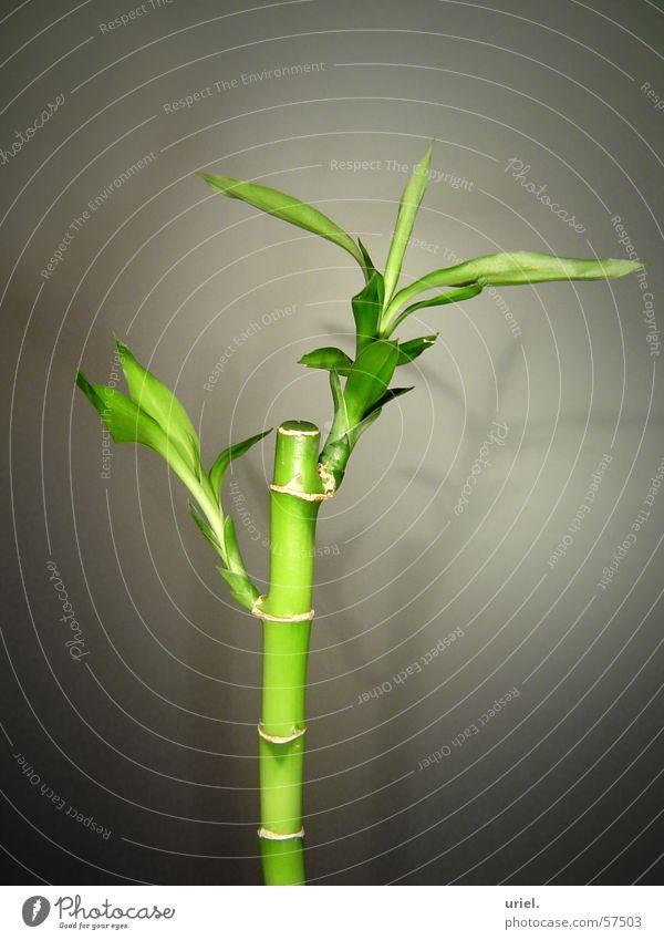 BamboO Natur grün Pflanze Garten Park Asien Dekoration & Verzierung Halm Bambusrohr