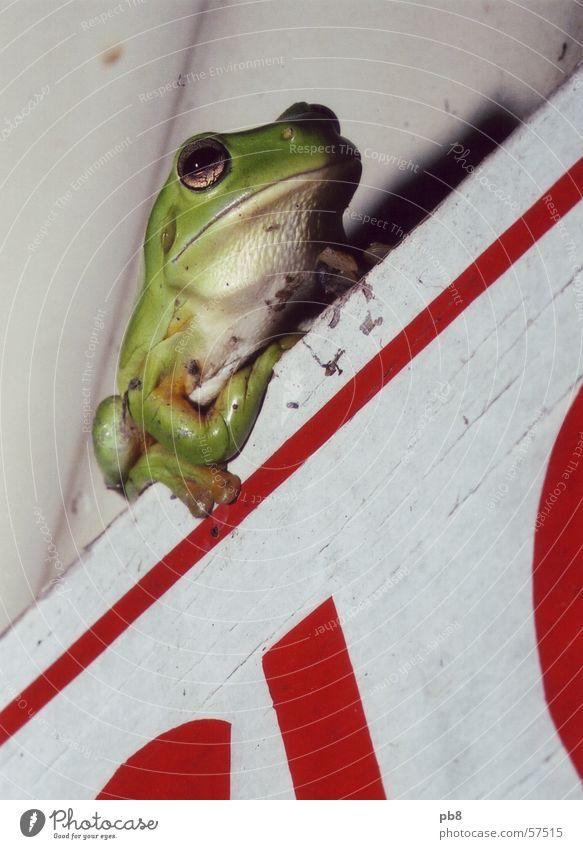 frog grün rot sitzen Perspektive Frosch