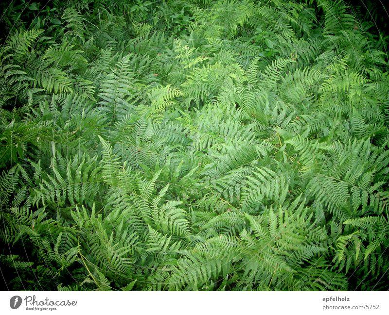 farngrün Natur grün Sommer Echte Farne
