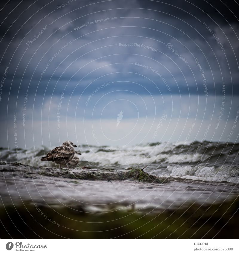 Warten Umwelt Natur Landschaft Wasser Himmel Wolken Gewitterwolken Horizont Sommer schlechtes Wetter Unwetter Wind Sturm Strand Ostsee Wildtier Vogel 1 Tier