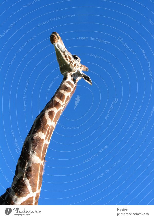 Himmelblick blau elegant groß Fleck Hals Blauer Himmel Giraffe braun gefleckt