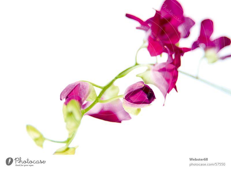 Orchidee Blume rosa grün Pflanze Kunst Unschärfe schön Garten Park flower