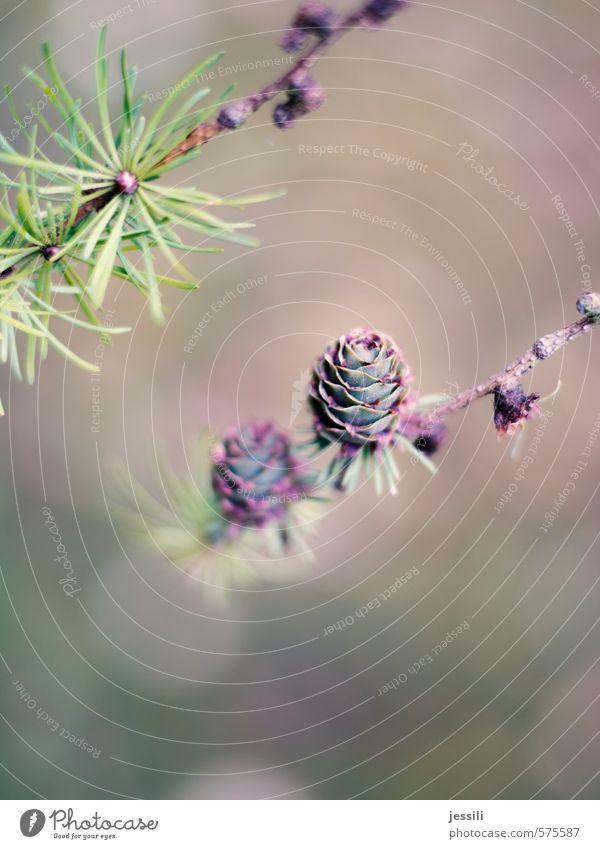Zäpfchen Pflanze Herbst Baum Park Zufriedenheit Solidarität Ehrlichkeit Reinheit Farbe geheimnisvoll rein Lärche Zweig Zapfen Farbfoto Außenaufnahme