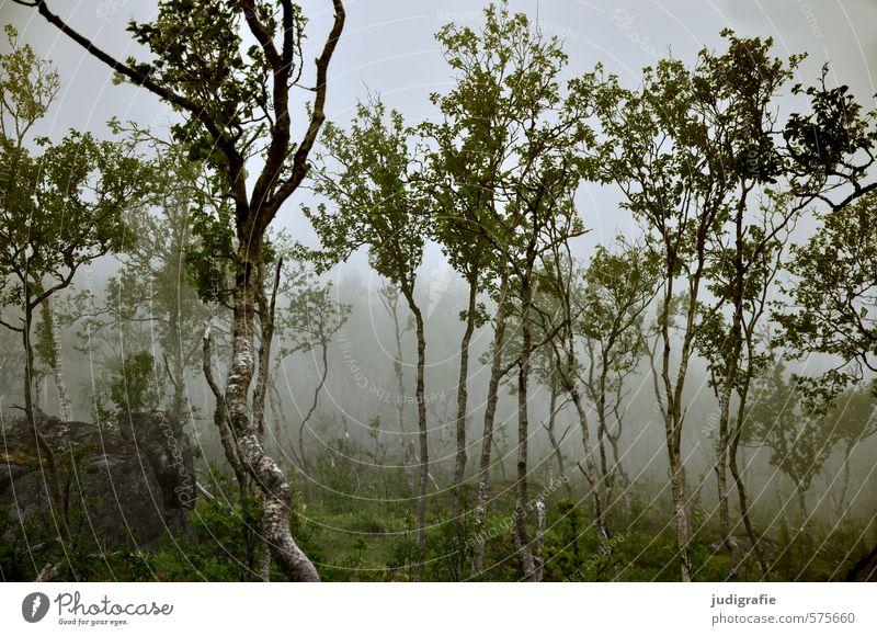 Norwegen Umwelt Natur Landschaft Pflanze Klima schlechtes Wetter Nebel Baum Grünpflanze Birke Wald dunkel natürlich wild Stimmung Farbfoto Außenaufnahme