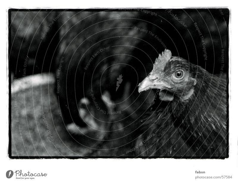 HUHN, DIE KAMERA LIEBT DICH Haushuhn Vogel Tier schwarz weiß Bauernhof Stall Futter chicken bird Vogelgrippe Bioprodukte animal black white Freilandhaltung