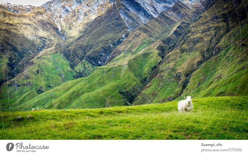 Revierhüter Natur grün Einsamkeit ruhig Ferne Umwelt Berge u. Gebirge Wiese Wege & Pfade Gras Freiheit Denken Zufriedenheit frei warten beobachten