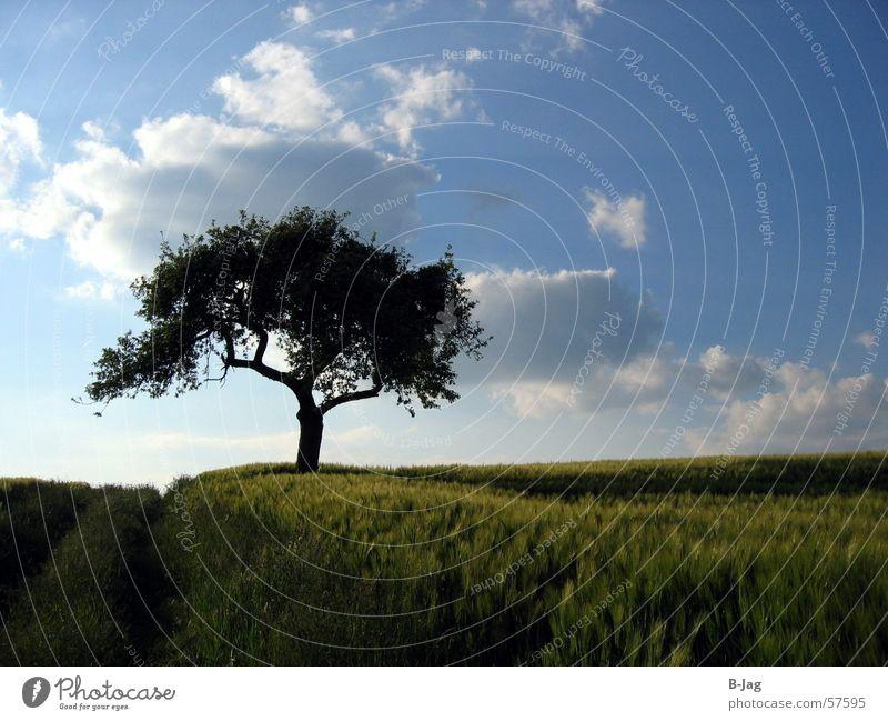 Einsamer Baum Feld Fußweg Einsamkeit Sommer Wolken Korn Blauer Himmel Getreide