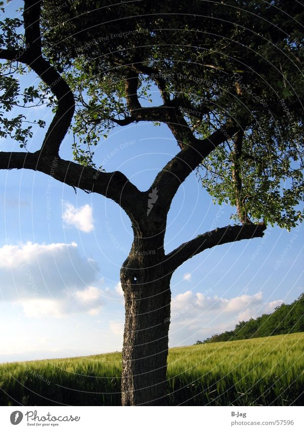 Einsamer Baum II Sommer Einsamkeit Feld Ast Getreide Blauer Himmel verzweigt