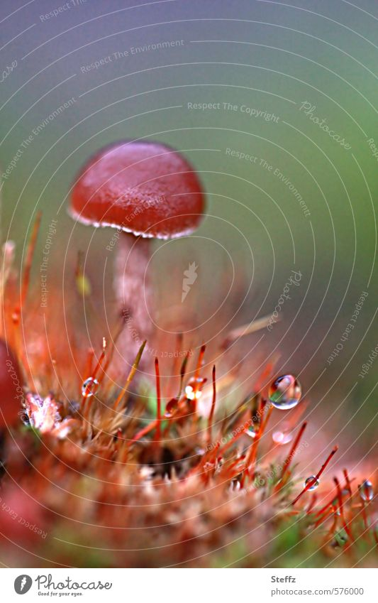 ein Däumling im Moos Pilz Winzling Pilzhut Waldboden Tautropfen Herbst Wildpflanze frisch Wachstum winzig anders wachsen Tropfen Regentropfen herbstlich