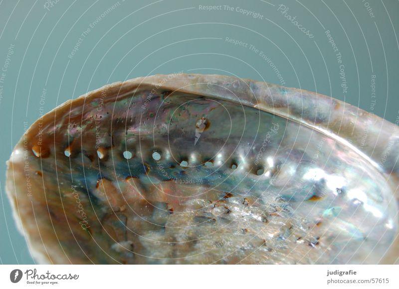 Seeohr Schneckenhaus Muschel Kalk Perlmutt Loch Meer glänzend Fotokamera grau Atlantik seeohr Mittelmeer Schutz blau Leben Strukturen & Formen Einsamkeit
