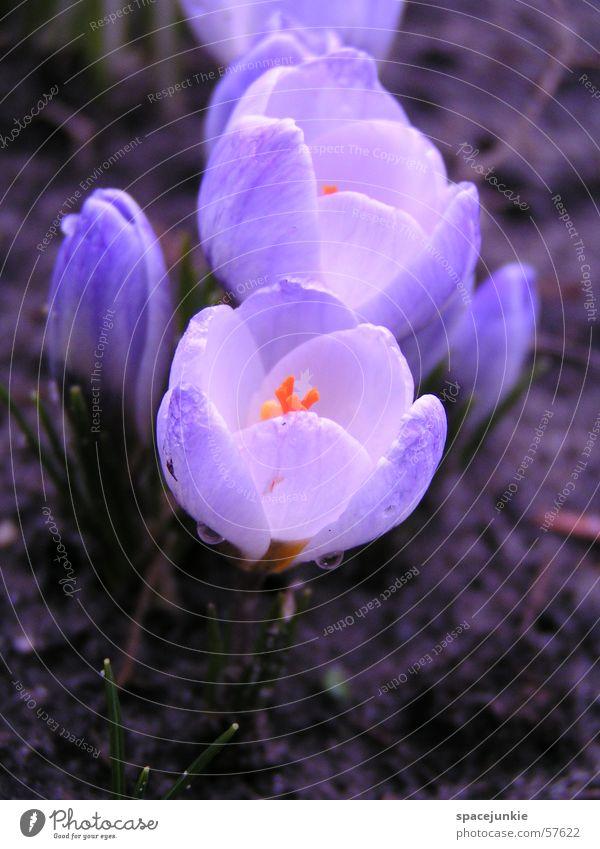 Frühlingsbote Wasser weiß blau Blüte Garten Wassertropfen Erde Krokusse