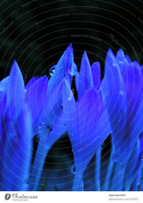 Blaue Flammen (1) Wasser blau Pflanze schwarz Frühling Garten Wassertropfen Stauden Krokusse