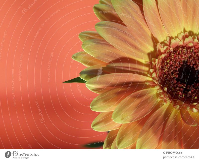 Sonnen-Sehnsucht Gerbera Blume Blüte Licht rot gelb Physik Frühling Zierpflanze Makroaufnahme springen Natur Nahaufnahme Freude orange Wärme Duft Garten