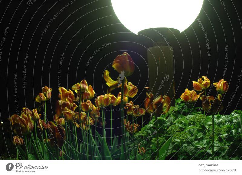 tulpen Tulpe