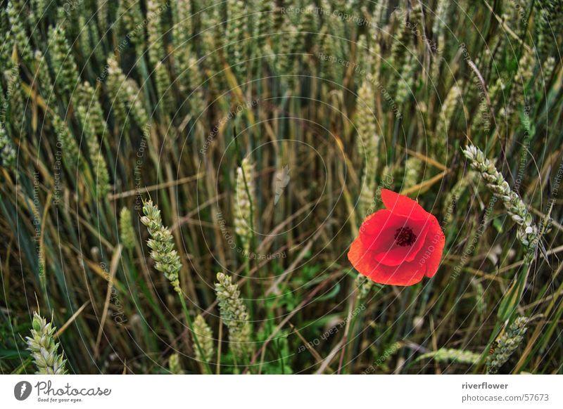 Farbtupfer Natur Blume rot Sommer Einsamkeit Blüte Landschaft Stimmung Feld Mohn Kornfeld