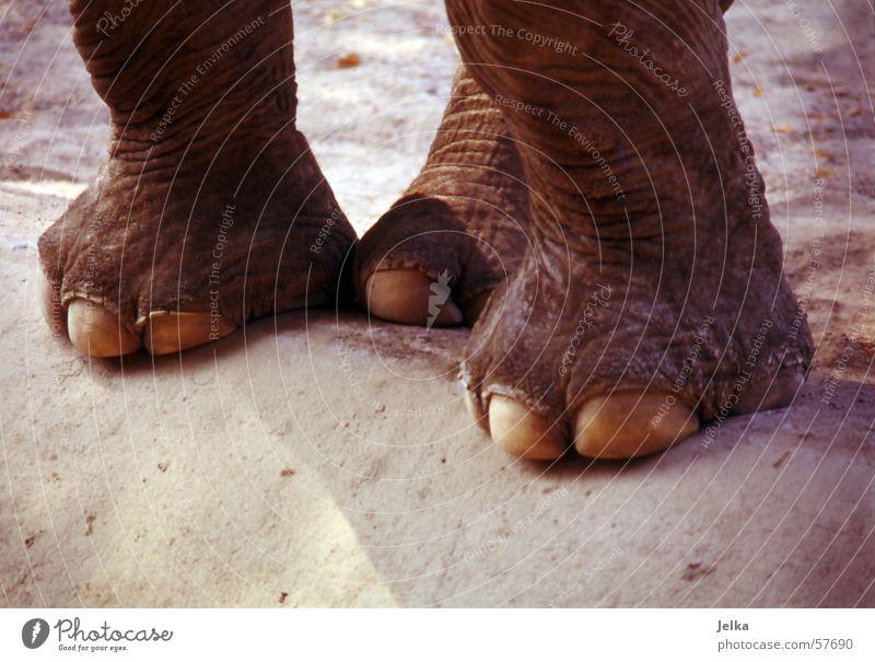 Eli feet alt Tier Tierfuß Zoo Zehen Nagel Elefant Huf