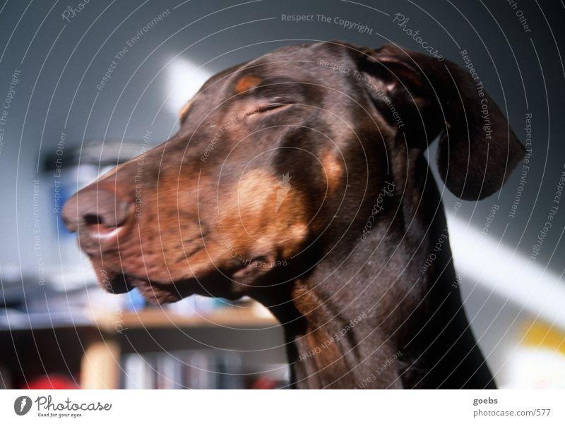 Sich sonnender Dobermann Sonne Hund Dobermann