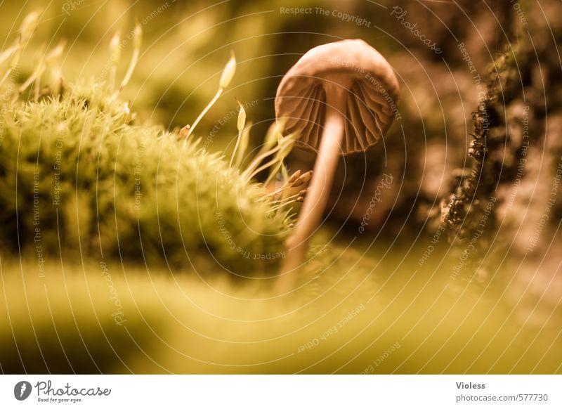 kleener Pflanze Moos klein Pilz Pilzhut Waldboden Makroaufnahme Herbstfärbung Sporen Schwache Tiefenschärfe