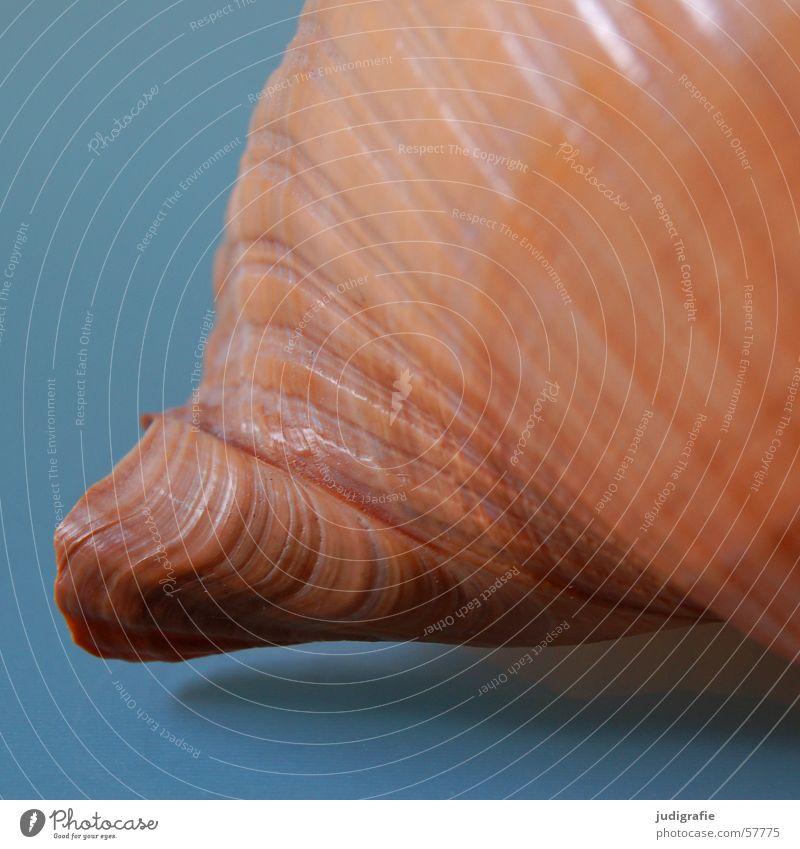 Haus Schneckenhaus Muschel Meer braun Geborgenheit Spirale gedreht Garnspulen Tonnenschnecke Atlantik Einsamkeit Mittelmeer Strukturen & Formen