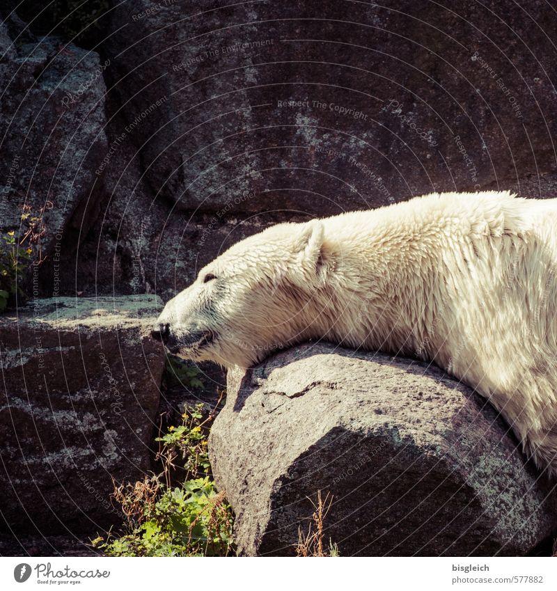 Eisbär II Zoo Tier Wildtier 1 liegen schlafen grau grün weiß Gelassenheit ruhig Zufriedenheit Erholung Farbfoto Außenaufnahme Menschenleer Textfreiraum oben Tag