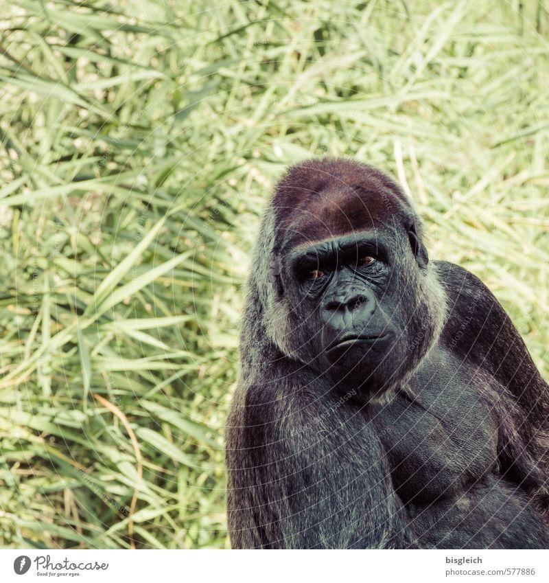 Gorilla Zoo Tier Tiergesicht Affen 1 Blick sitzen groß stark braun grau grün Farbfoto Außenaufnahme Menschenleer Textfreiraum links Textfreiraum oben Tag