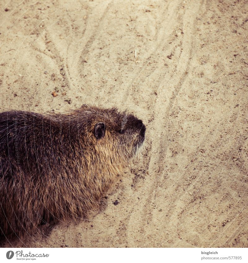 Nutria Tier Sand braun niedlich Zoo Biberratte