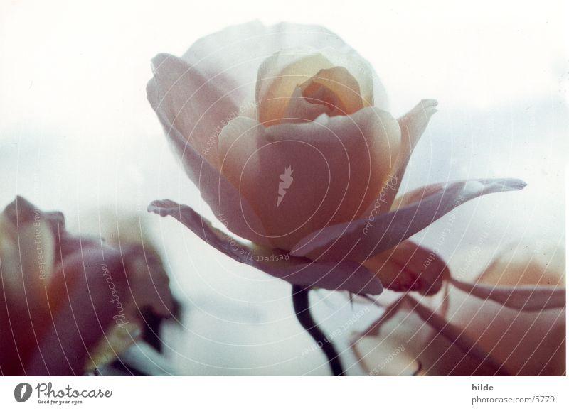 a rose is a rose Blume Pflanze rosa Rose Romantik zart Pastellton