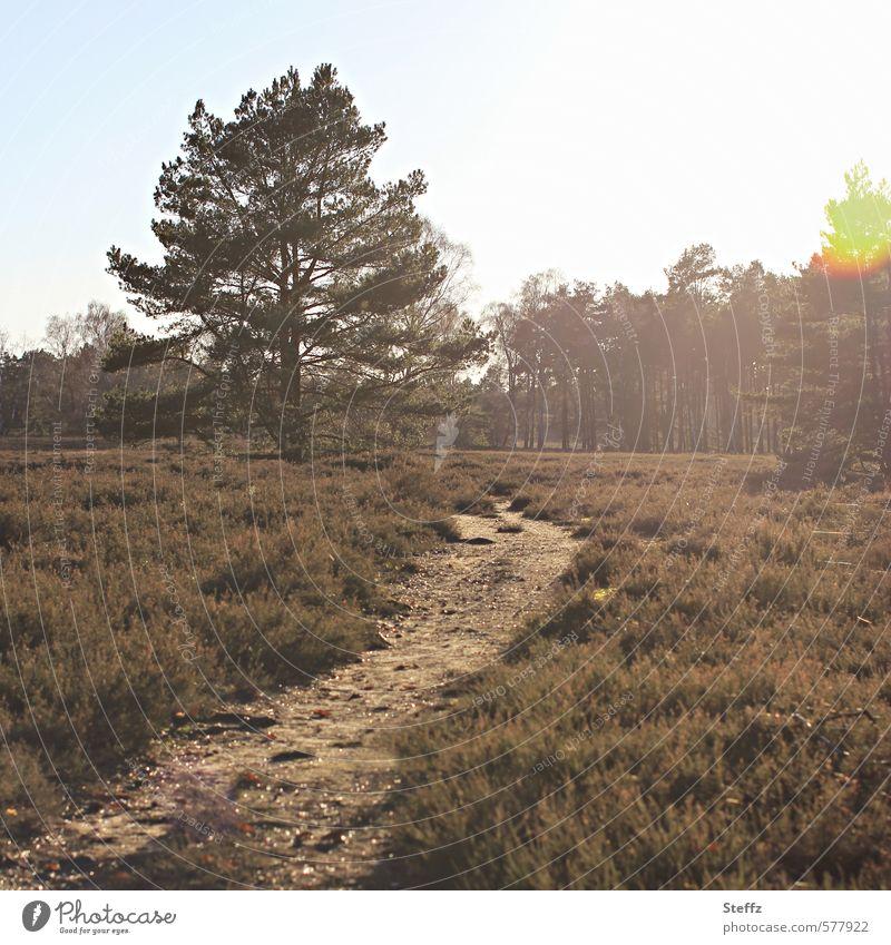 the shining Umwelt Natur Landschaft Pflanze Baum Sträucher Wildpflanze Bergheide Wald Heide natürlich schön braun Stimmung Romantik ruhig Lichtstimmung