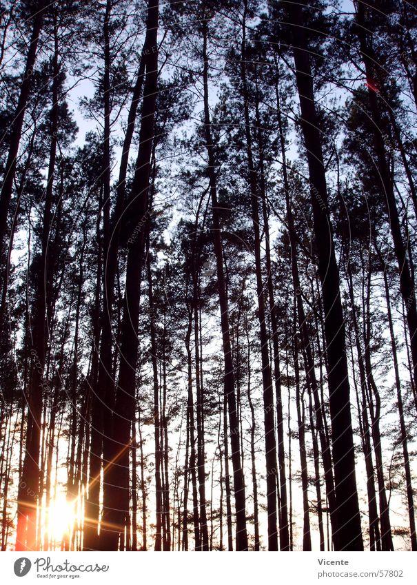 In die Ecke gedrängt Himmel Baum Sonne blau Wald orange Stern Stern (Symbol) Baumkrone Kiefer Nadelwald Lausitz