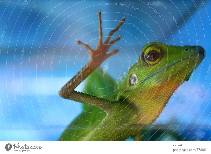 Gimme Five Grüner Calotes grün Echsen Agamen Tier Urzeit Zoo Tierhandlung Terrarium Urwald gefangen blau Kontrast Leben Wildtier Coolness helge Freiheit