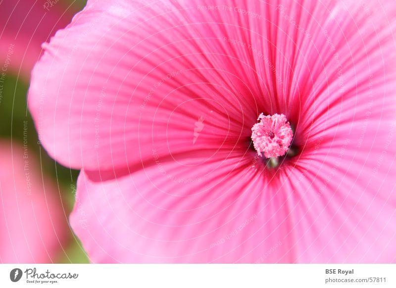 Rosa Blüte Natur Pflanze Frühling rosa Stempel Hawaii