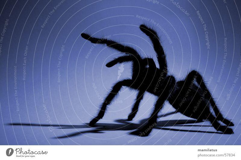 alptraum blau Angst Spinne Angriff Vogelspinne