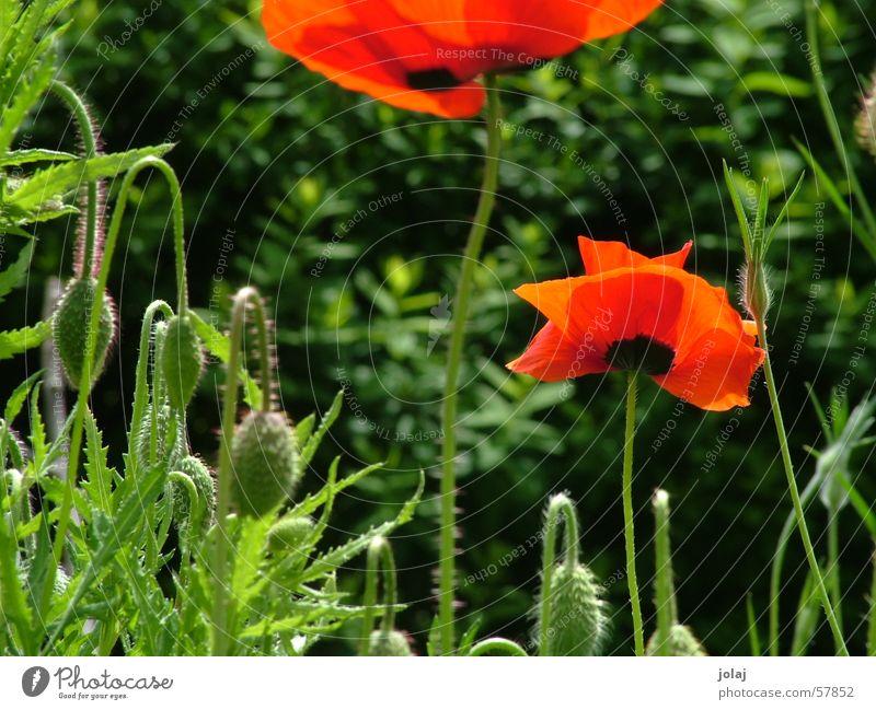 Mohn Blume Sommer Garten Lichtspiel
