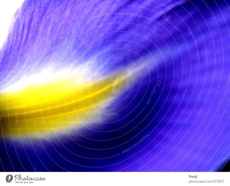 Schwertlilie Blatt Pflanze gelb Blume zart zerbrechlich Blüte Blütenblatt Lilien leicht Natur blau sanft Farbe