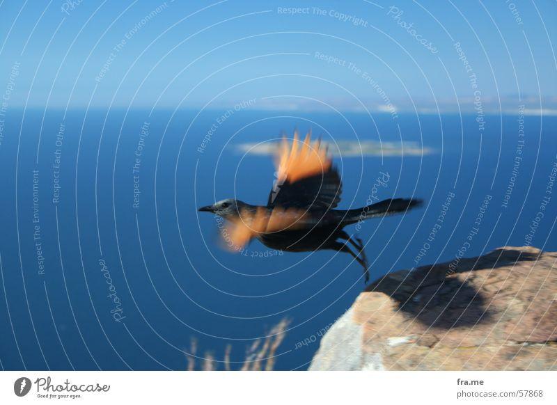 Vogel Himmel schwarz Berge u. Gebirge Freiheit Stein Luft orange fliegen Beginn hoch Feder Afrika Südafrika Kapstadt Lion's Head