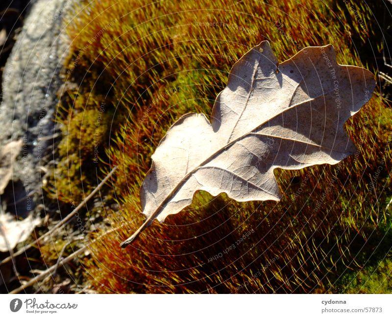 Moosteppich Blatt Pflanze Licht Herbst Makroaufnahme Nahaufnahme Natur Detailaufnahme Stein Maserung Sonne