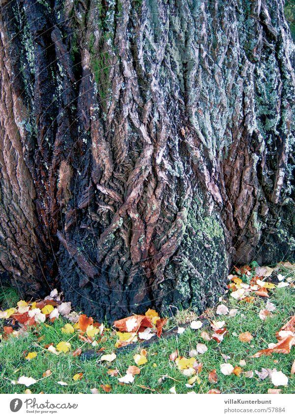 Märchenbaum Baum Baumrinde Herbst Gras Blatt Natur tree Baumstamm