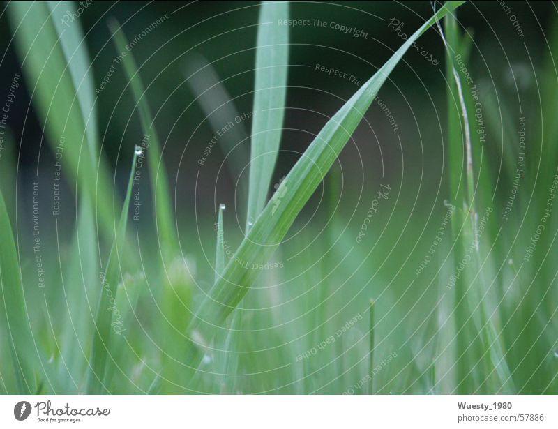 Morgentau Grünpflanze Gras Tau grün schön Futter ruhig Zeitlupe Wiese Grasland Ernährung Grünfläche Weide Mahlzeit Lebensmittel Tod Waldwiese beschaulich