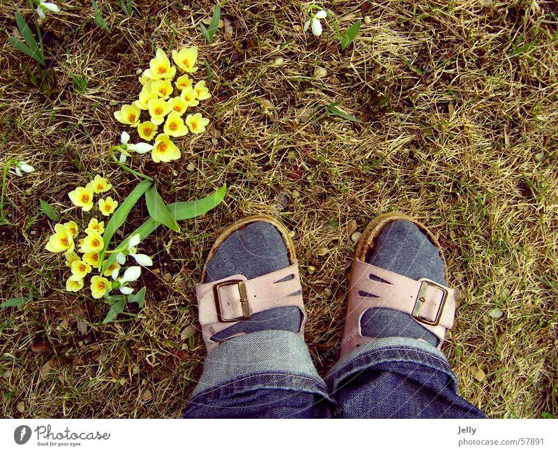 erste schritte in den frühling gelb Wiese Frühling Stein Fuß Rasen Kieselsteine Krokusse Hausschuhe Blume