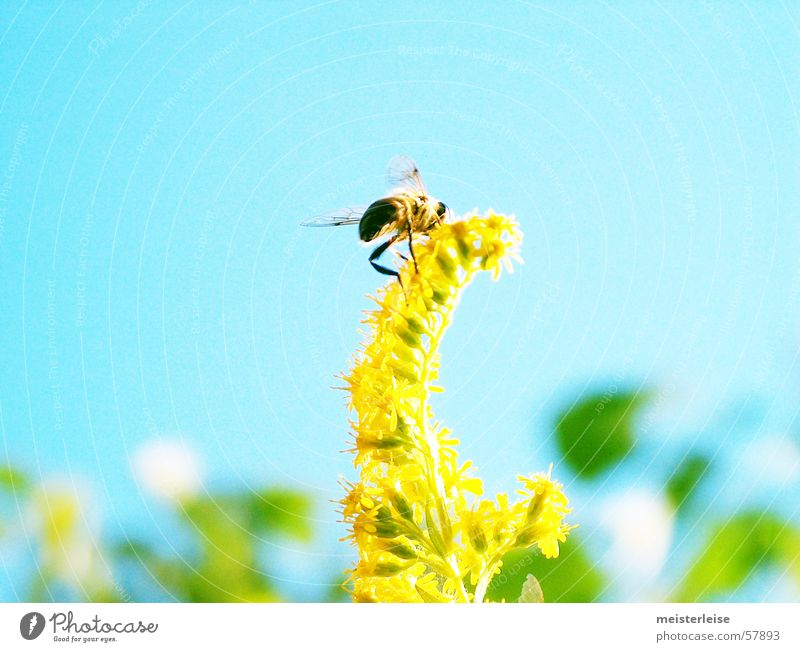 Blümchen und Bienchen 02 Biene Tier Insekt Außenaufnahme Sommer Frühling Sammlung fleißig Honig Honigbiene Natur Pflanze Garten meisterleise fliegen