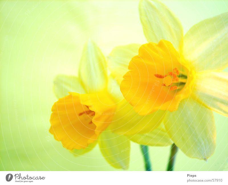 Vergänglichkeit in Gelb Farbfoto Innenaufnahme Makroaufnahme Dekoration & Verzierung Natur Frühling Blume Blüte Blühend gelb Frühlingsgefühle Narzissen