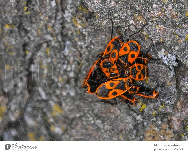 Wanzen-Football... Natur Baum Tier mehrere Insekt Anhäufung Furche Baumrinde Haufen binden Feuerwanze Deckflügel