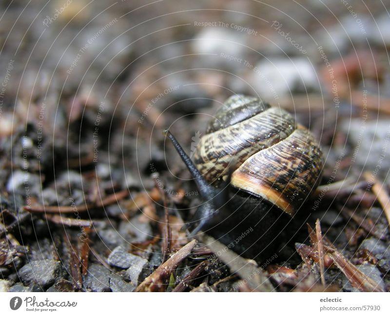 Carl Lewis 1 Schneckenhaus Tier Waldboden Fühler Reptil langsam krabbeln Außenaufnahme Tiefenschärfe Bodenbelag Natur Makroaufnahme Nahaufnahme