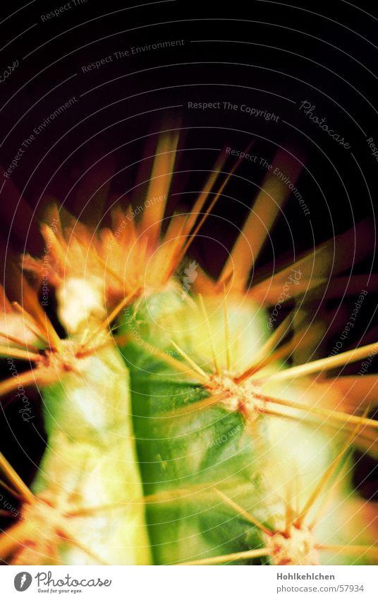 mein kleiner grüner Pflanze Kaktus stechen Makroaufnahme explodieren Spitze Schmerz