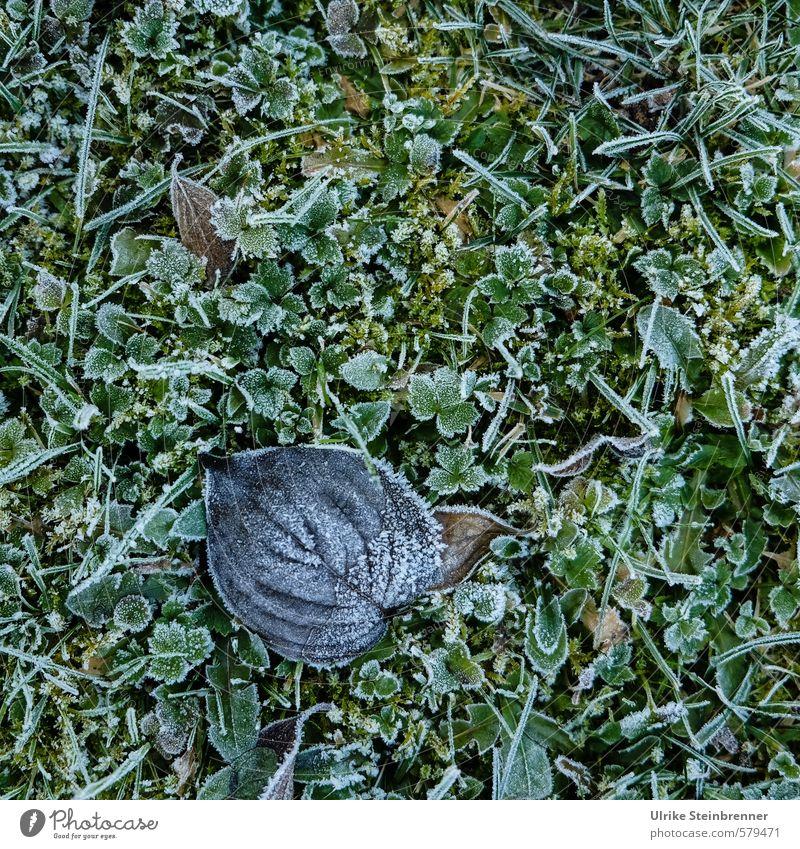 Sanfter Winter Natur Pflanze schlechtes Wetter Eis Frost Gras Moos Blatt Garten Park Wiese frieren liegen glänzend kalt nass natürlich trocken grün